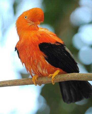 andean cock of the rock sitting on branch