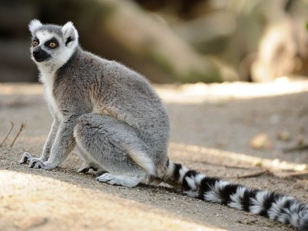 madagascan ring tailed lemur looking off camera