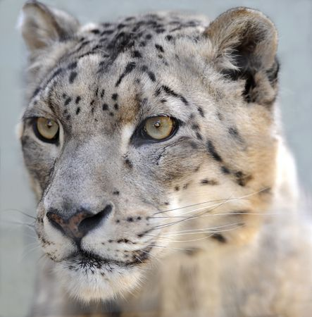 close up of male adult snow leopard Stock Photo