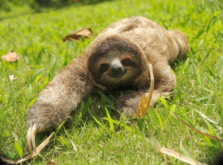 cute three toe sloth crawling in grass Stock Photo