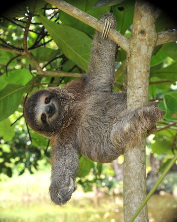 juvenile three toe sloth hanging in tree
