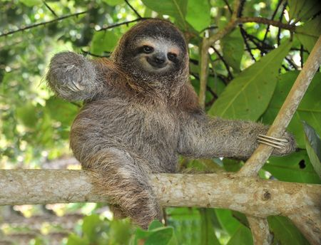 playful three toe sloth sitting on tree branch