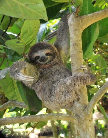 playful juvenile three toe sloth in tree