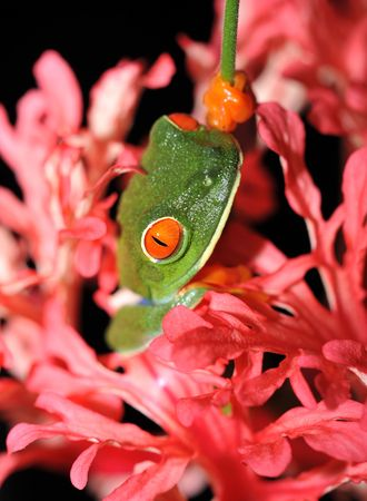 red eyed green tree frog hiding in pink flower 1, costa rica