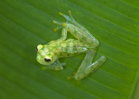 endangered costa rican reticulated glass frog sitting on green banana leaf 6 Stock Photo