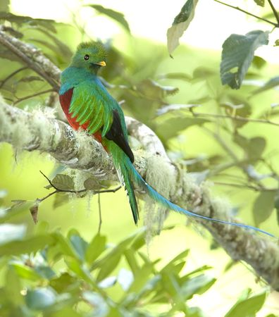 magnificent costa rican resplendent quetzal in tree 5