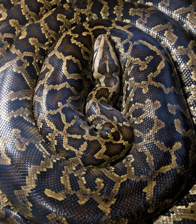 burmese python curled up on forest floor