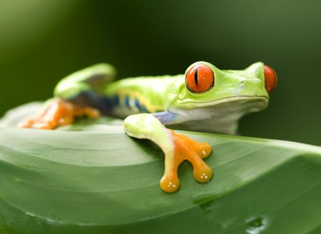 big eyed red eyed green tree frog on green leaf in costa rica Stock Photo