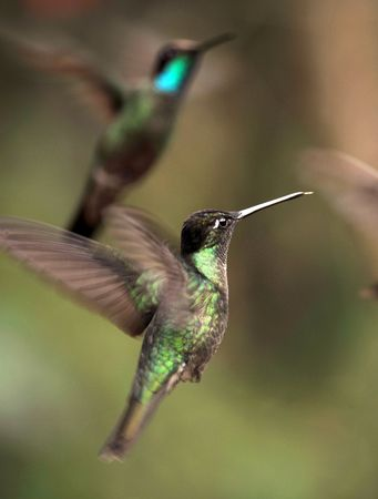 magnificent hummingbirds flying whilst feeding, costa rica