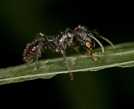 the dreaded costa rican poison bullet ant