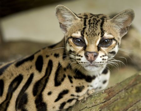 curious margay cat or caucel or leopardus wiedii sitting on tree Stock Photo