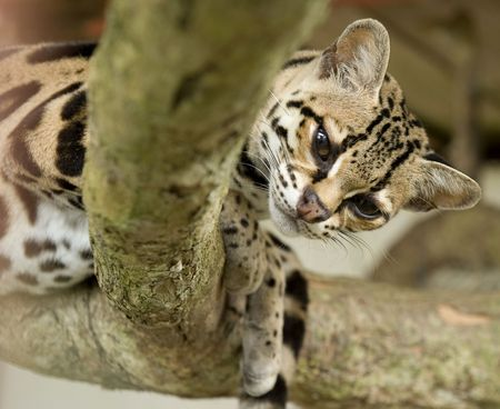 curious margay cat or caucel or leopardus wiedii looking over branch