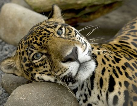 magnificent jaguar or panthera onca resting on a rock, costa rica Stock Photo