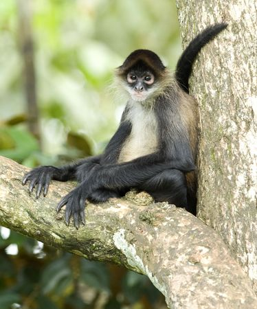 spider monkey male adult sitting on tree branch, costa rica