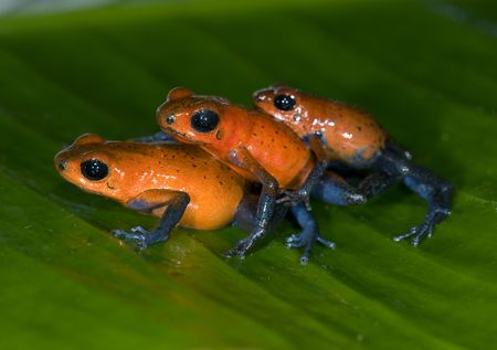comical photo of three strawberry or blue jean poison dart frogs Stock Photo