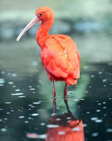 beautiful scarlet ibis in water with reflection