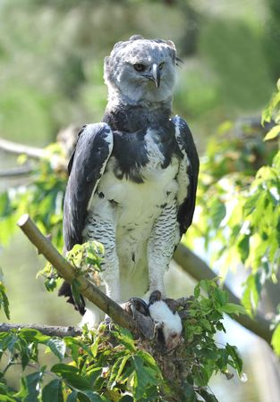 rare endangered costa rican harpy eagle eating mouse