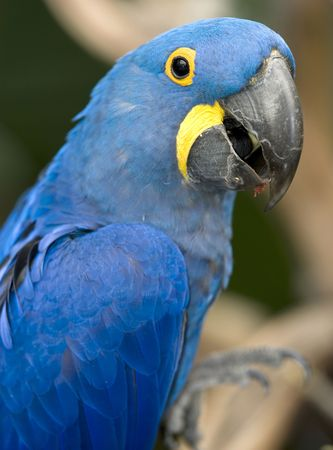 magnificent hyacinth macaw half length close up found in brazilian pantanal, south america