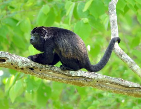 male adult costa rican howler monkey in tree, guanacaste, costa rica, central america Stock Photo