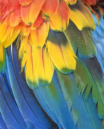 northern scarlet macaw feathers close up, cancun, mexico