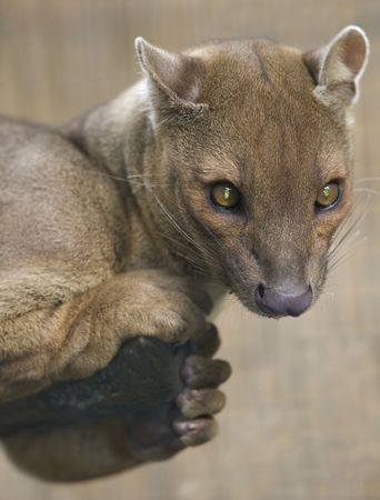 african fossa hunting cat, adult female, madagascar, africa