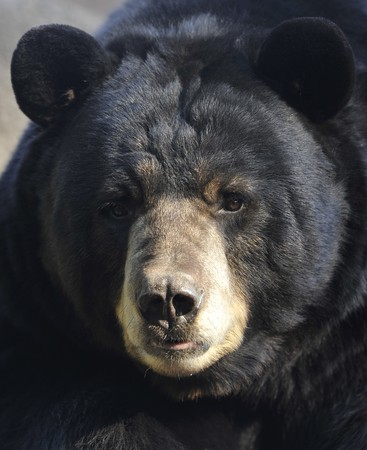 male adult american black bear, close up, california