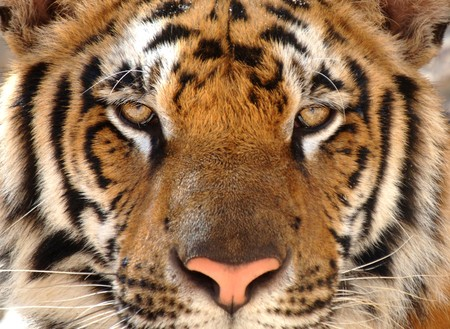 full frame picture of magnificent male bengal tiger looking at camera, thailand, asia. Stock Photo