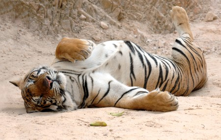 male adult bengal tiger sleeping on ground, thailand, asia cat lion leopard