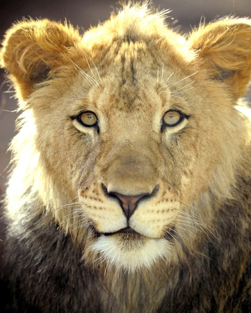 african lion full frame close up