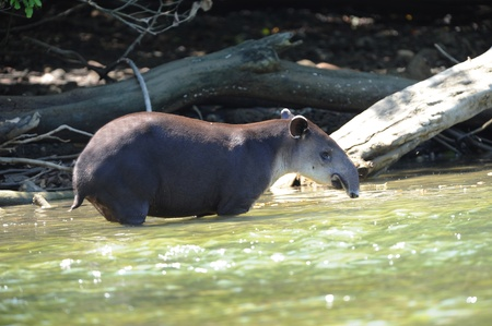 tapir, wild adult male in river , corcovado national park, costa rica Stock Photo