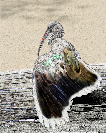 combining: Hada Ibis sitting on a log suning his wing. Creative imagery combining line drawing illusion with photographic image.