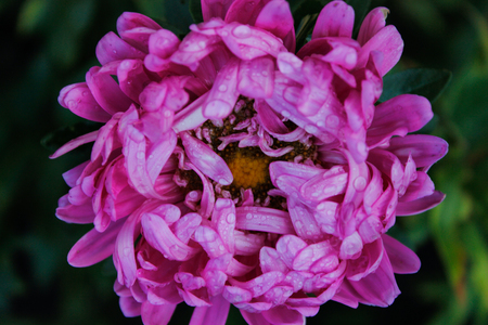 Pink flowers of asters garden. Delicate petals. Horizontal photo. Close-up. Sunny
