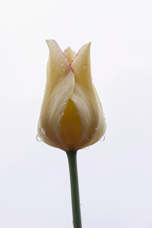 white tulip immediately after the rain against the sky . The petals are covered with small drops of rain. Side view. Close-up