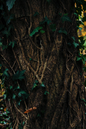 Ivy on the treegreen ivy on a tree close-up. Summer. Side view Stock Photo