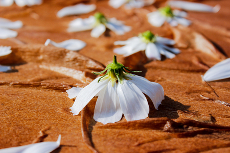 Abstraction of white daisies on a brown background. Use for backgrounds, wall paper, tile floor, fabric, books, and anything else that you want. View from above
