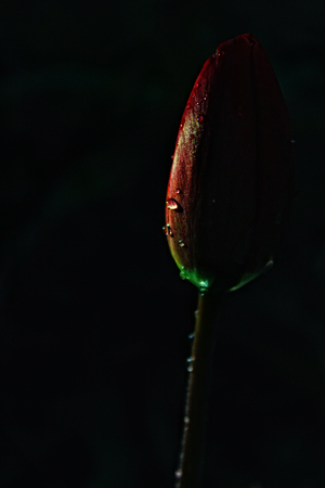Red tulip with water drops on a dark background. Close-up. Side view.