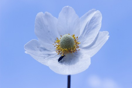Three leaved Anemone flower against blue sky Stok Fotoğraf