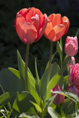 Blooming Tulips Stock Photo - 10213796
