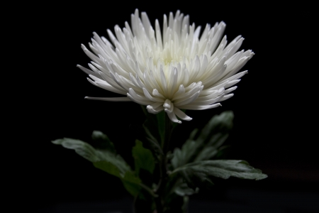 White Flower on Black Background Isolated Stock Photo