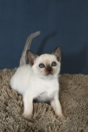 Tonkinese Kitten at Play Vertical Stock Photo - 20323789