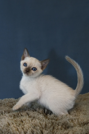 Tonkinese Kitten at Play Vertical Ad Space