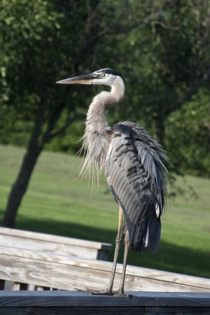 A Great Blue Heron oversees the lake Stock Photo