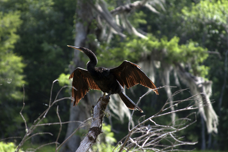An Ahinga Spotted in Wakulla Springs State Park