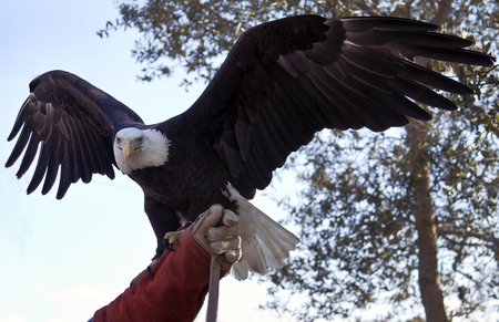 The Eagle Flies in Lake Placid, Florida