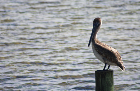 Pelican on a Post in the Florida Keys