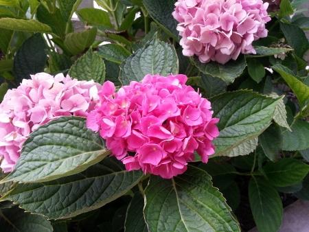 Lovely Pink Hydrangea Flowers