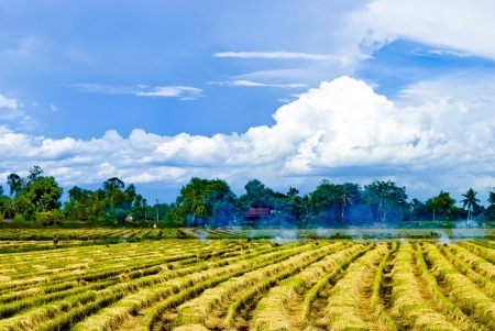 liveliness: Rows of rice straw after harvest.Suphanburi,Thailand.