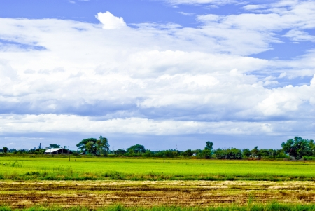 paddy field: Views of the field.Suphanburi;Thailand.
