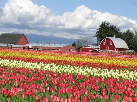 Tulip and Barn, Skagit Valley Tulip Festival