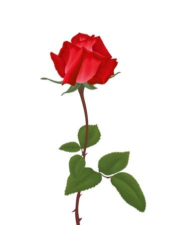 赤いバラの葉に隔離された白い背景。ベクトル